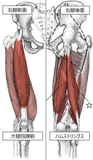 大腿四頭筋とハムストリングス 引用:筋肉ガイド