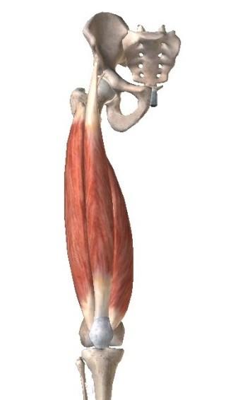 大腿四頭筋 引用:VISIBLE BODY
