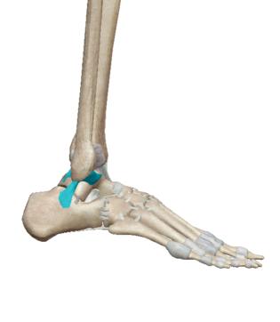 右足首を外から見た図(引用:VISIBLE BODY)