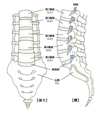 腰椎 模式図①