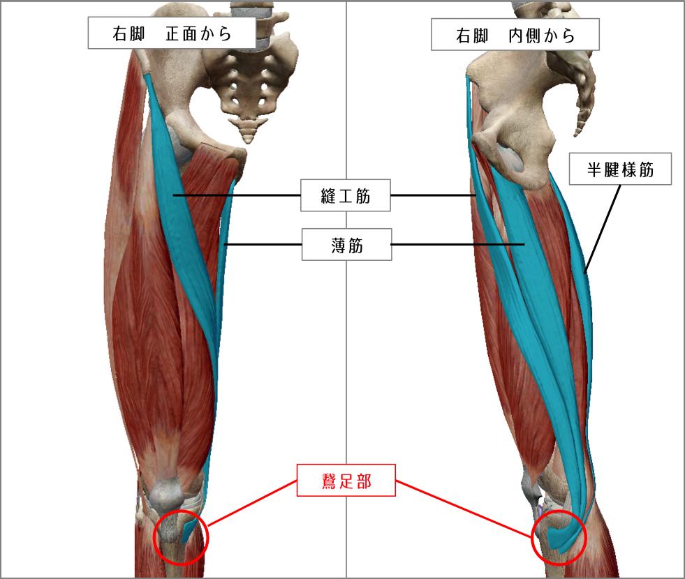 右膝の鵞足部 引用:VISIBLE BODY