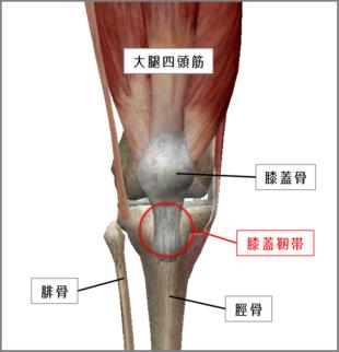 右膝を正面から見た図 引用:VISIBLE BODY