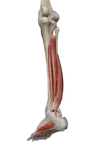 右足のスネを斜め後ろから見たところ(引用:VISIBLE BODY)