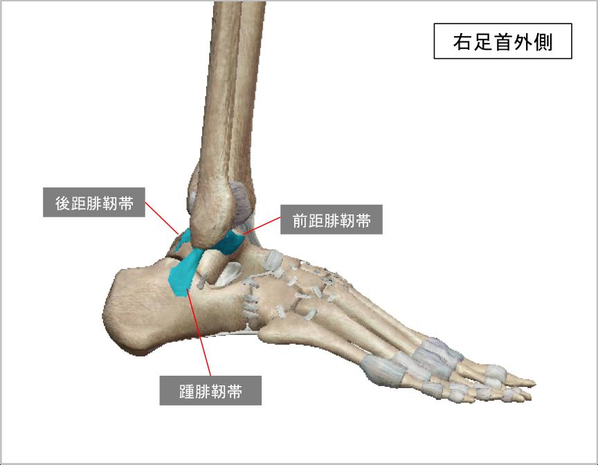 足首の外側にある主な靭帯(引用:VISIBLE BODY)