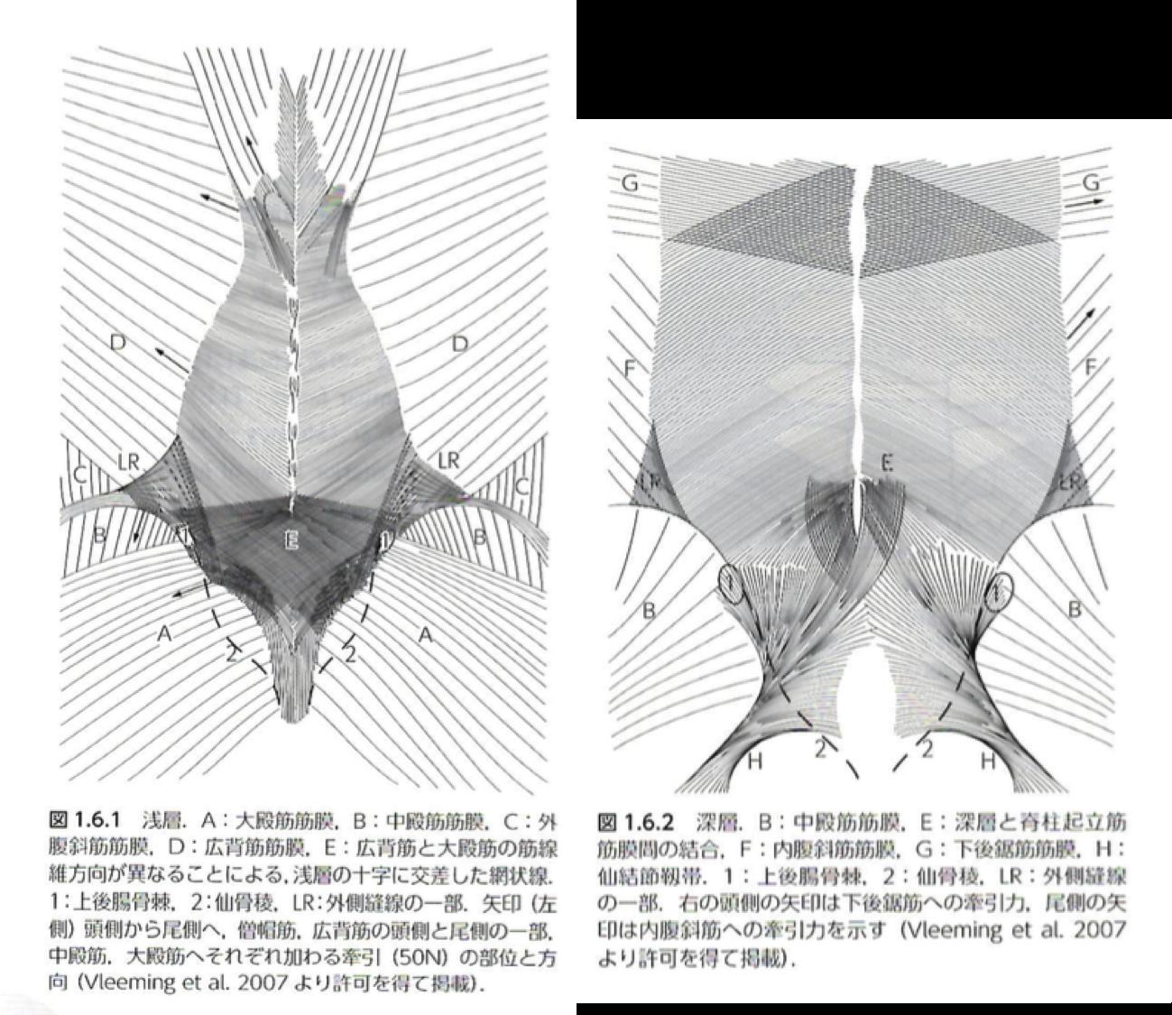 胸腰筋膜(引用:人体の張力ネットワーク膜・筋膜 P.38)