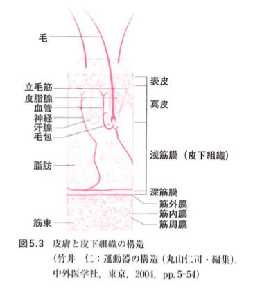皮膚(引用:系統別・治療手技の展開 P.85)