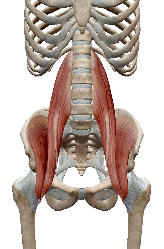 腸腰筋(引用:VISIBLE BODY)