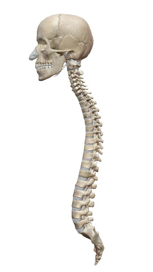 横から見た背骨(引用:VISIBLE BODY)